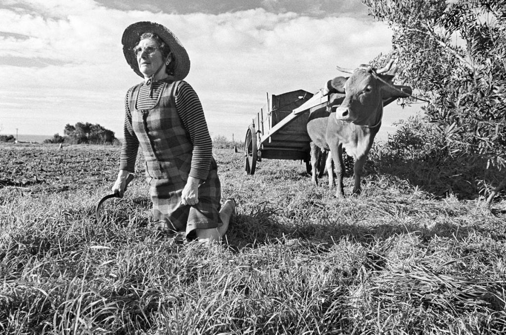 an elderly woman straightens her back as she cuts grass with a sickle. A cow stands waiting to pull an ox cart, Portugal