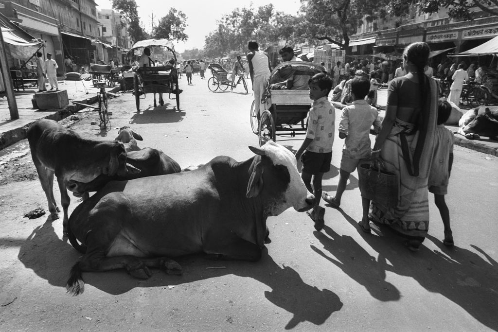Busy street scene in Jaipur India. A cow in the foreground with calves and a family walk by and one boy looks at the camera