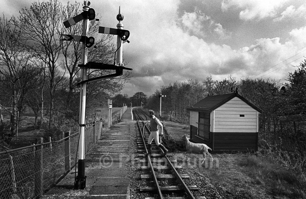 Goat crosses the railway line led by a man in riding boots. Talyllyn Railway, Wales