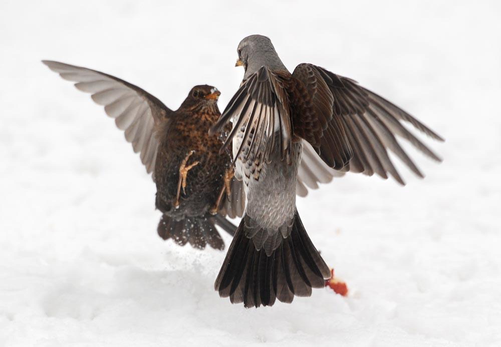 bird photography,wildlife photography,philip dunn,fieldfare,blackbird