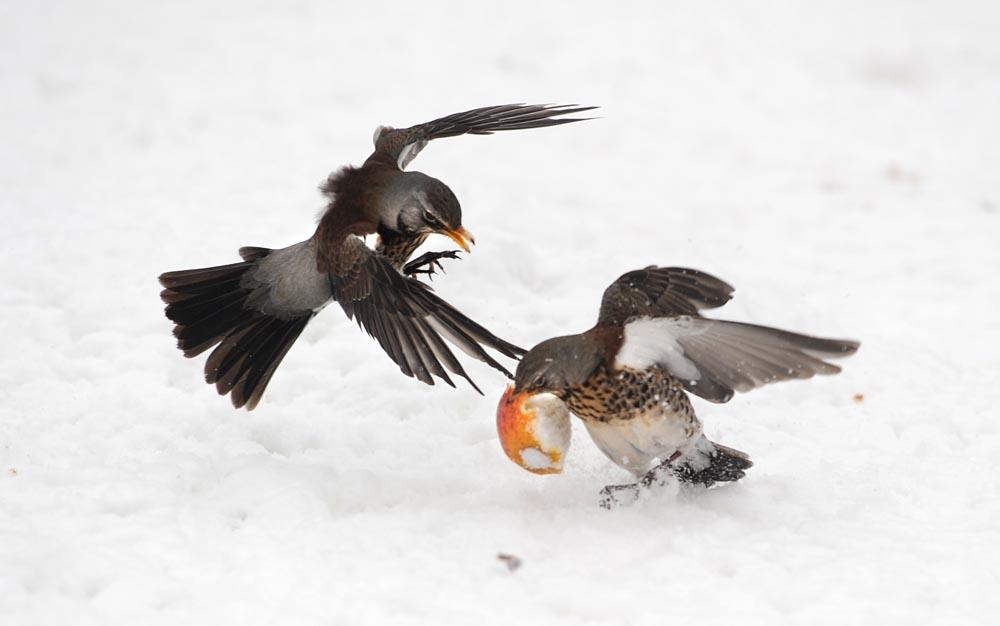 bird photography,wildlife photography,photoactive,philip dunn,fieldfare