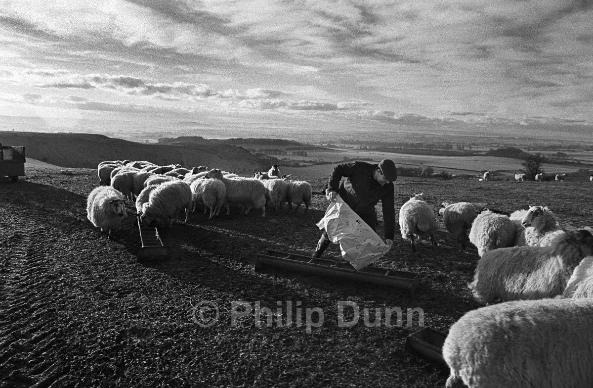 Good quality light at dawn - feeding sheep at dawn, Wiltshire