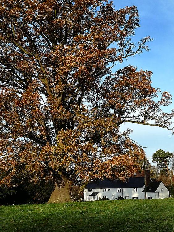 oak tree lockdown snaps